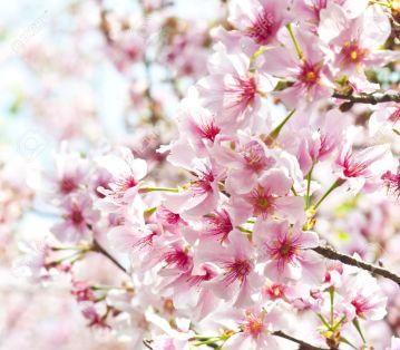 14783472-Taiwan-asiatico-esterno-pianta-parco-naturale-sfondo-bianco-fiore-gemma-rosa-fiori-di-ciliegio-Archivio-Fotografico.jpg